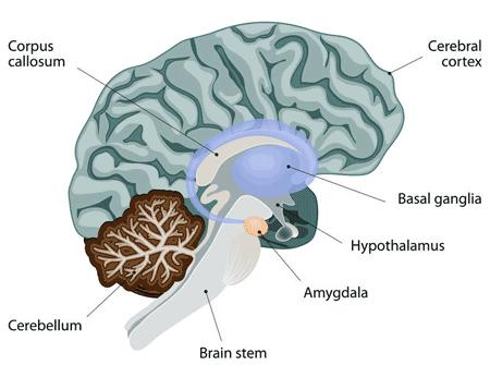 Amygdala vs Prefrontal Frontal Cortex Bipolar